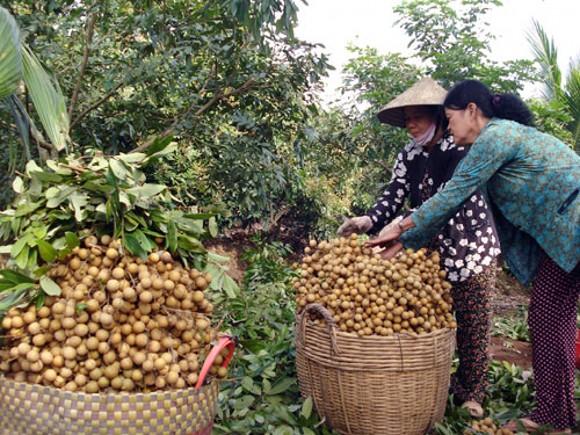 Nhãn tươi Việt Nam lần đầu tiên xuất khẩu sang Hoa Kỳ